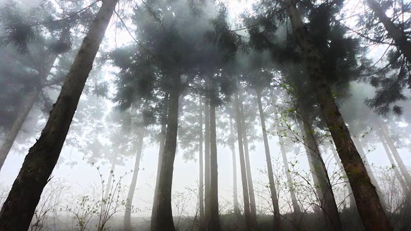 霧のかかった杉林