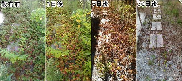 アイリスオーヤマ除草剤SJS-4L 散布後の経過1 小画像