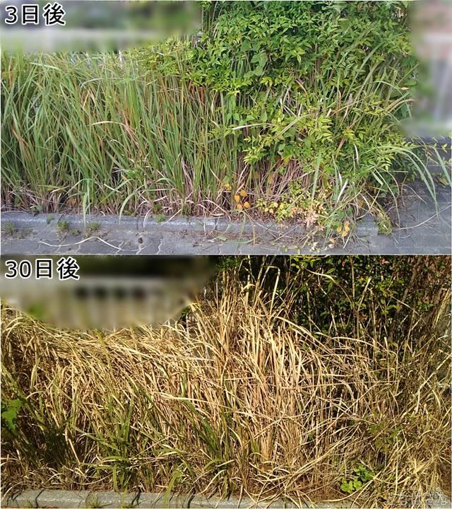アイリスオーヤマ除草剤SJS-4L 散布後の経過2